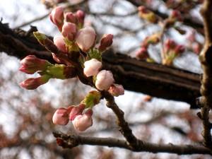 Sakura_6784