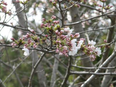 Sakura_5986