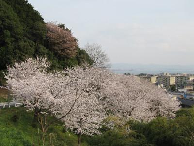 Sakura_6024