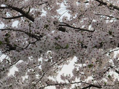 Sakura_6028
