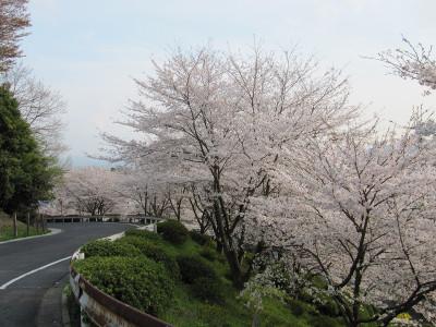 Sakura_6031
