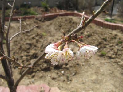 Sakura_7823