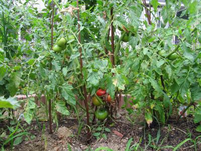 Tomato_8310
