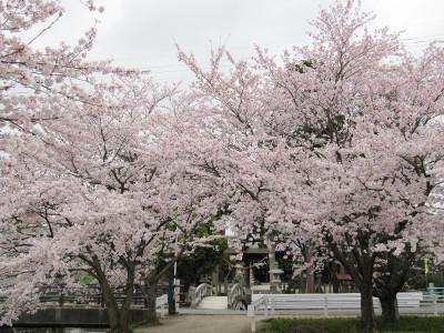 Sakura_9597