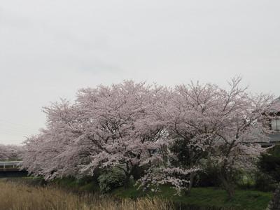 Sakura_9598