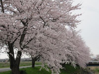 Sakura_9600