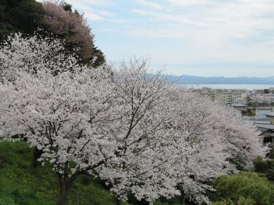 Sakura_9646