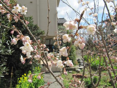 Sakura_1003