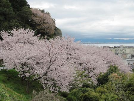 Sakura_1178