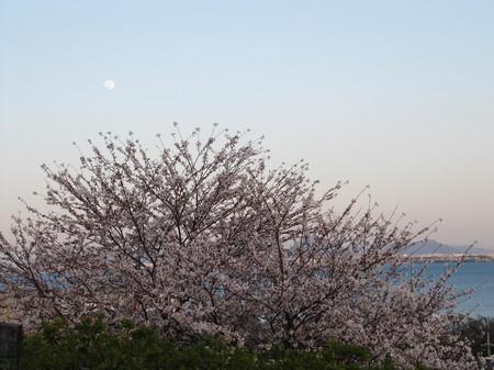 Sakura_3120