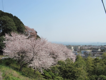 Sakura_3838