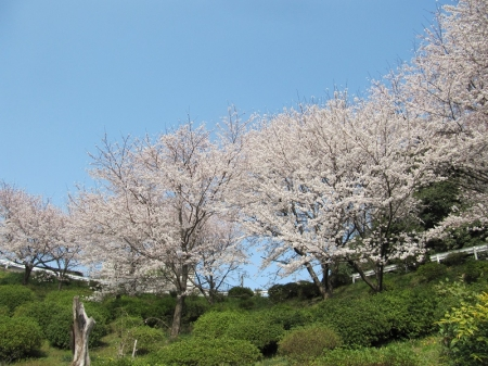 Sakura_3841